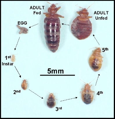 The Life Cycle Of The Bed Bug