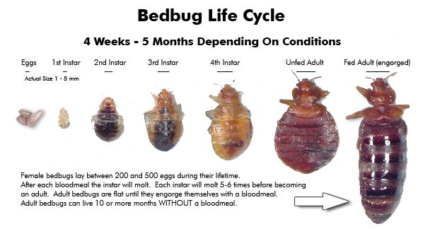 Bed Bug Life Cycle National Bed Bug Registry Database And Maps